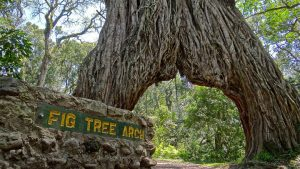 fig-tree-arch-safari-meru