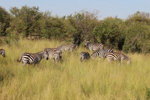 kitumbeine-animals-zebras-min