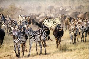 safari-la-gran-migracion-serengueti-16