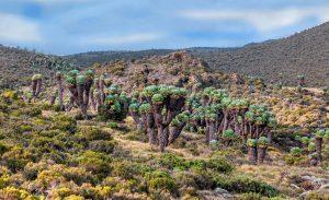 safaris-trekking-kilimanajaro-lemosho-2
